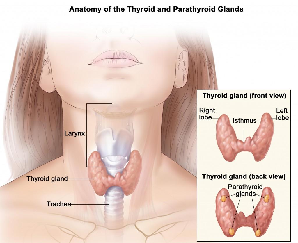 Anatomy of thyroid gland